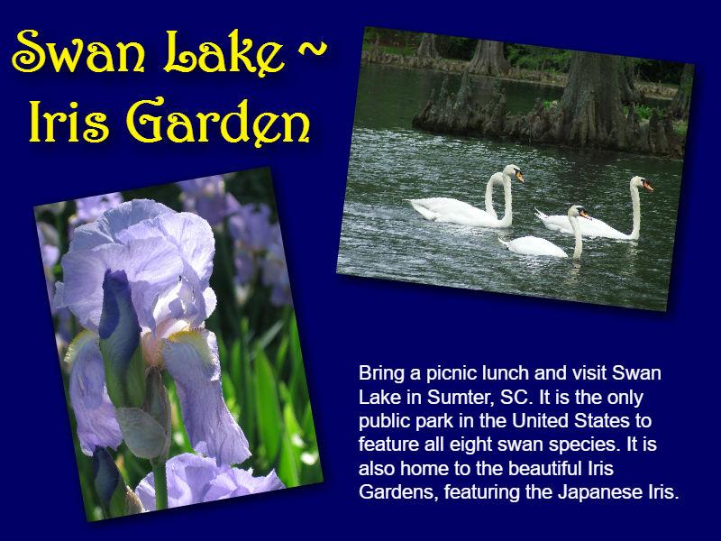 SwanLakePostcard.1.jpg