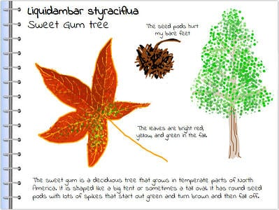 wixie-sample-field-guide-sweetgum